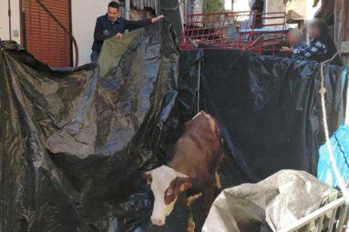 La FBB prend en charge Nobelle, une vache sauvée par hélicoptère le jour de Noël