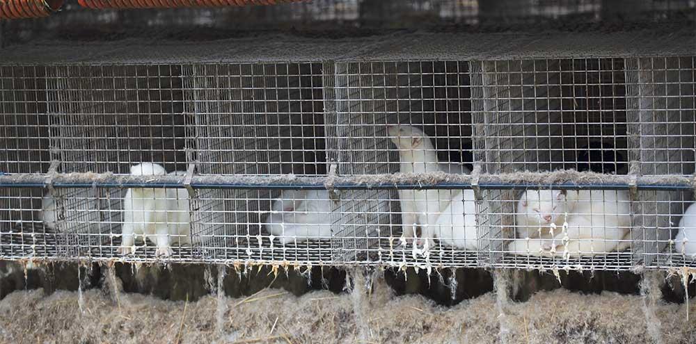 Élevages de visons pour la fourrure : urgent de les interdire en France !