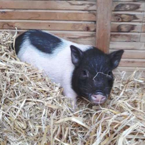 Fondation Brigitte Bardot sauvetage Dordogne cochon