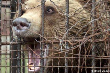 Transfert de l'ours Teddy au parc Belitsa en Bulgarie, co-financé par la FBB et Four Paws