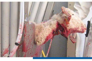 Abattage rituel : La Cour de Justice de l'Union Européenne donne raison aux Etats membres qui imposent l'étourdissement des animaux !