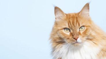750€ d'amende pour les propriétaires de chats non-pucés et non-tatoués