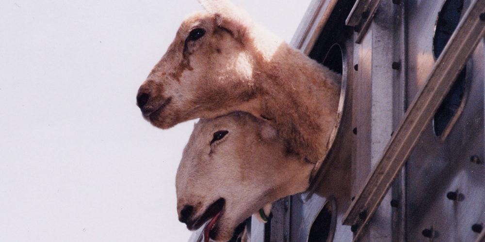 Transports d'animaux : en route vers une réforme indispensable de la réglementation