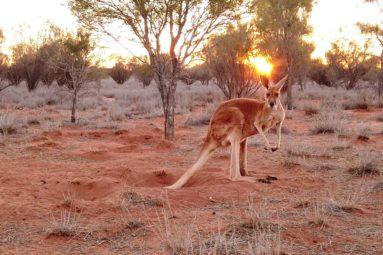 Cuir de kangourou : La FBB dénonce le sanglant business d'Adidas