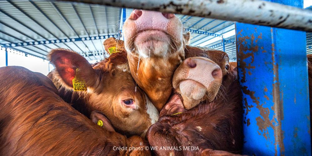 Refusons la souffrance abjecte des exportations d'animaux !