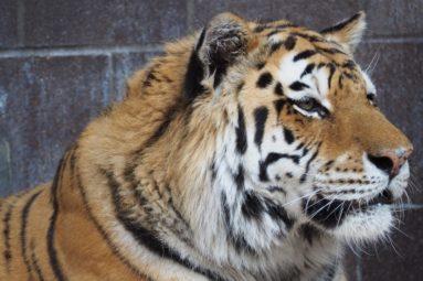 Lettre à Alexia Laroche-Joubert : Mettez fin à l'exploitation des tigres de Fort Boyard !