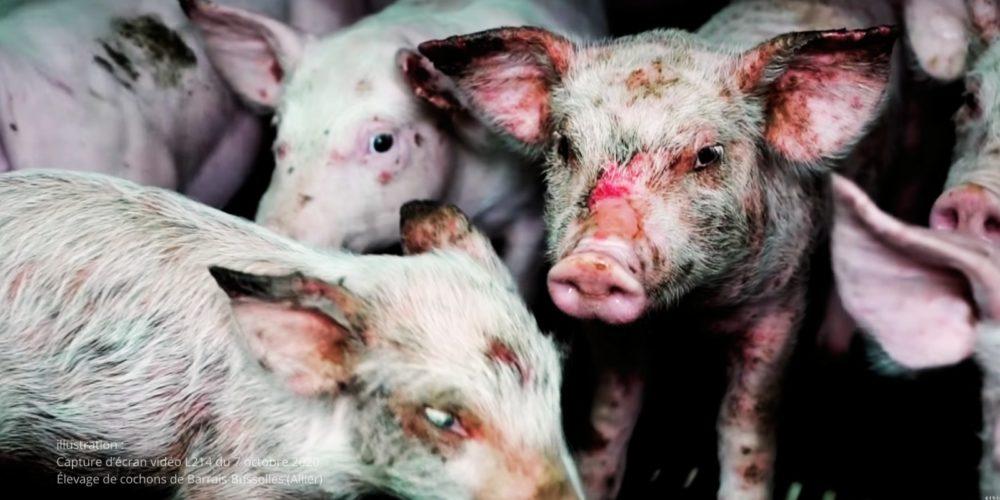 Lettre ouverte : l'extension d'un élevage porcin provoque la colère de Brigitte Bardot !