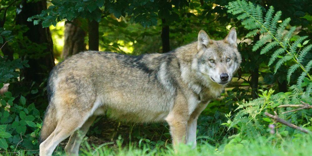 Protection du loup : la France doit revoir sa copie de toute urgence !