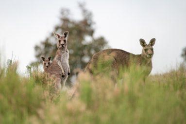 La FBB demande au gouvernement l'interdiction de la vente des produits issus de la chasse aux kangourous !