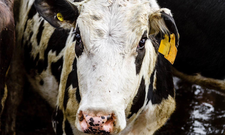 Lettre ouverte de Brigitte Bardot à Didier Guillaume sur le projet de ferme-usine 1 000 vaches